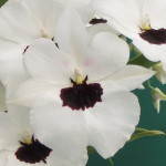 Miltoniopsis Lillian Nakamoto 'Tanto'