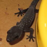 Southern Spotted Velvet Gecko- Junior