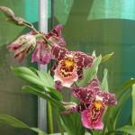 Bllra. Tropic Tom 'Honker' flower comparison