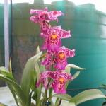 Bllra. Tropic Tom 'Honker' older flowers