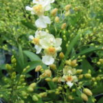 Oncidium Twinkle 'Fragrant Fantasy'